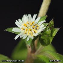 Eclipta Blüte