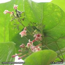Chinarindenbaum (Cinchona pubescens), Blütentand