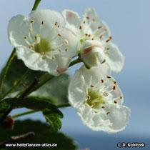 Die Blüten des Zweigriffeligen Weißdorn (Crataegus laevigata) haben zwei Griffel.