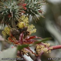 Die weiblichen Blüten von Rizinus (Ricinus communis) haben rote Narben