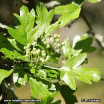 Fünfgriffeliger Weißdorn (Crataegus pentagyna), Blätter