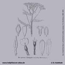 Gewöhnliche Schafgarbe, Achillea millefolium