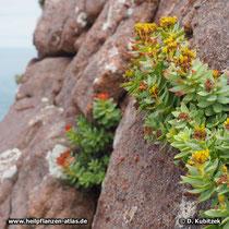 Rosenwurz (Rhodiola rosea) wächst 10 bis 40 cm hoch in feuchten, kalkarmen, felsigen Böden und Felsspalten.