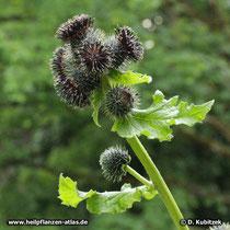 Himalayascharte (Saussurea costus) mit mehreren blühenden Blütenständen