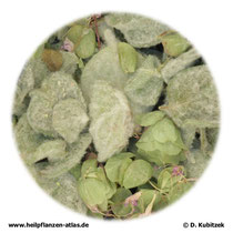 Kretisches Dostenkraut (Origani dictamni herba). Das Foto zeigt keine Apothekenqualität, und das Kraut ist nicht zerkleinert.