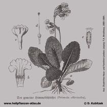 Wiesen-Schlüsselblume, Primula veris, Historisches Bild