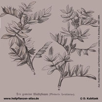 Mastix-Strauch (Pistacia lentiscus), historische Grafik