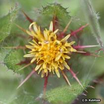 Benediktenkraut (Cnicus benedictus), Blütenkopf (Blütenkorb)