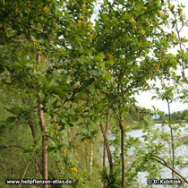 Die Gewöhnliche Berberitze wächst hier in einer Au am Fluß Isar (Oberbayern)