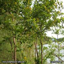 Die Gewöhnliche Berberitze (Berberis vulgaris) wächst hier in einer Au am Fluß Isar (Oberbayern)