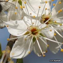 """Schlehe (Prunus spinosa), Blüten (""""Schlehdornblüten"""")"""