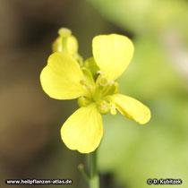 Schwarzer Senf (Brassica nigra), Blüte