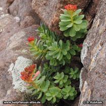 Rosenwurz (Rhodiola rosea) ist zweihäusig. Weibliche Blüten wachsen zu orangen Früchten heran.