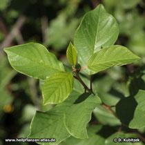 Echter Faulbaum (Frangula alnus), Triebspitze mit Blättern