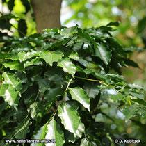 Tolu-Balsambaum (Myroxylon balsamum), Blätter