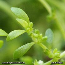 Kahles Bruchkraut (Herniaria glabra) Blätter