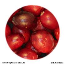 Cranberry-Früchte, frisch (Macrocarponii fructus)