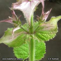 Muskatellersalbei (Salvia sclarea), Hochblätter