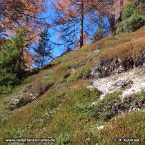 Echte Bärentraube (Arctostaphylos uva-ursi), zusammen mit Heidekraut an einem Berghang in den Dolomiten auf rund 1.900 m Höhe