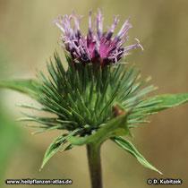 Kleine Klette, Arctium minus, Blütenstand (Blütenkorb)