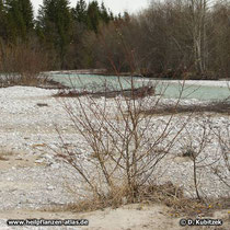 Hart im Nehmen: Der Standort dieser Reif-Weide (Salix daphnoides) auf der Kiesbank der oberen Isar (Oberbayern) wird wohl regelmäßig überflutet.