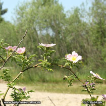 Hundsrose (Rosa canina), Blütenzweig