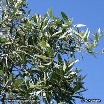 Ölbaum Zweige