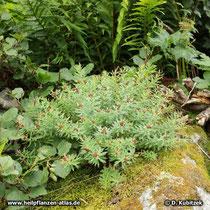 Rosenwurz (Rhodiola rosea): Dieses Exemplar wächst im Hochgebirge in Nachbarschaft von Farn und Moos. Das deutet auf einen feuchten Standort hin. Es handelt sich hier um eine männliche Pflanze. Die Blüten sind bereits verblüht.