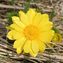 Frühlings-Adonisröschen (Adonis vernalis), Blütenkopf
