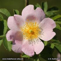 Hundsrose (Rosa canina), Blüte