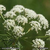 Anis (Pimpinella anisum), Blütenstand
