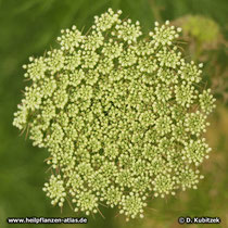 Zahnstocher-Ammei (Ammi visnaga), Blütenstand