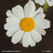 Mutterkraut (Tanacetum parthenium), Blütenkopf (Blütenkorb)
