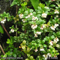 Preiselbeere (Vaccinium vitis-idaea), blühender Strauch