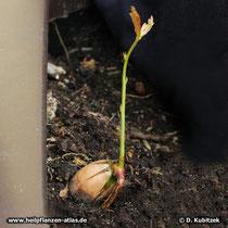 Aus einer Eichel treibt eine Stiel-Eiche (Quercus robur) aus.