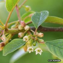 Echter Faulbaum (Frangula alnus; synonym: Rhamnus frangula), Blüten