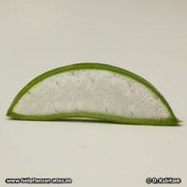 Aloe vera (Aloe barbadensis), Blatt Querschnitt