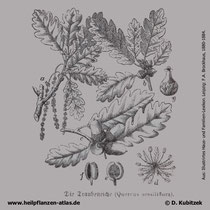 Trauben-Eiche; Quercus petraea; Historisches Bild