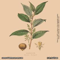 Benzoe-Storaxbaum (Styrax benzoin) in einer historischen Grafik