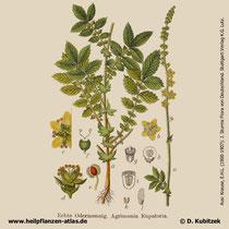 Kleiner Odermennig, Agrimonia eupatoria, Historisches Bild
