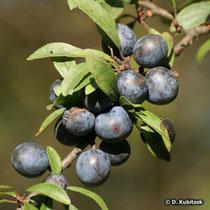 Schlehe (Prunus spinosa), Früchte