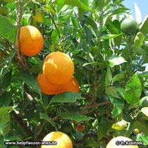 Orange (Citrus aurantium): Reife und unreife Früchte