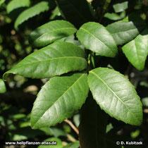 Mate-Strauch (Ilex paraguariensis), Blätter