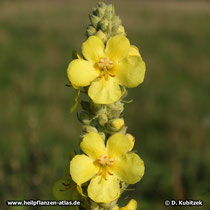 Königskerze (Verbascum densiflorum, Verbascum phlomoides, Verbascum thapsus)