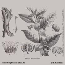 Atropa bella-donna; Tollkirsche; Historisches Bild