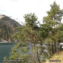 Gewöhnliche Kiefer (Pinus sylvestris), Wuchsformen