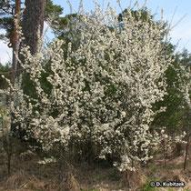 Schlehe (Prunus spinosa), Wuchsform