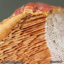 Glänzender Lackporling (Ganoderma lucidum), Querschnitt Hut