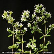Gewöhnlicher Dost, griechisch (Origanum vulgare subspecies hirtum)