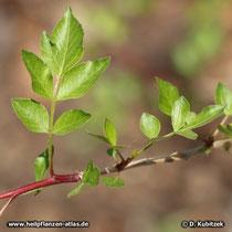 Myrrhenbaum (Commiphora myrrha, Syn.: Commiphora molmol), Blätter